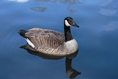 A Canada goose in blue water Royalty Free Stock Image
