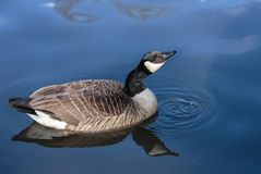 A Canada goose in blue water Stock Photo