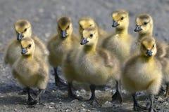 Canada goose, branta canadensis. Portrait Stock Photos