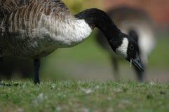 Canada Goose - Branta canadensis Royalty Free Stock Photo