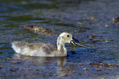 Canada Goose, Branta canadensis Royalty Free Stock Photography
