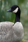 Canada Goose (Branta canadensis). The Canada Goose (Branta canadensis) is a goose belonging to the genus Branta, which is native to North America. This species stock image