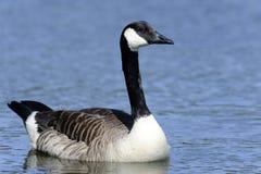 Free Canada Goose, Branta Canadensis Stock Photo - 15636610
