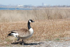 Canada Goose, Branta canadensis. A Canada Goose, Branta canadensis, rests one foot in a field outside the city stock image
