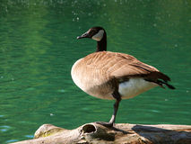 Canada Goose (Branta canadensis) Royalty Free Stock Photos