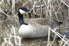 Canada Goose, Branta canadensis Stock Images