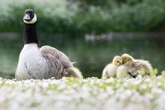 Canada goose (Branta canadensis) adult with goslings royalty free stock image