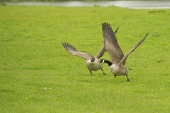 Canada Goose (Branta canadensis) attacking rival stock images