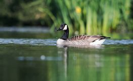 Canada Goose, Branta Canadensis royalty free stock photo