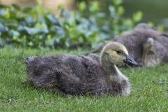 Canada goose (Branta canadensis) Stock Photo