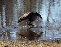 Canada Goose Or Branta Canadensis. Feeding in pond in early spring stock image