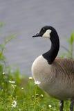 Canada Goose (Branta canadensis canadensis) Stock Photo