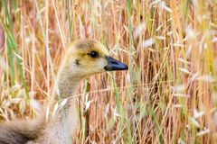 Canada Goose Branta canadensis chick; tall grass background; San Francisco bay area, California royalty free stock photo