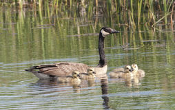 Canada Goose, Branta canadensis, with chicks Royalty Free Stock Photo
