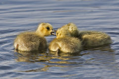 Canada Goose, Branta canadensis, chicks Stock Photography
