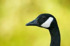 Canada Goose (Branta canadensis) Stock Photography