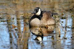 Canada Goose (Branta canadensis) Royalty Free Stock Photography
