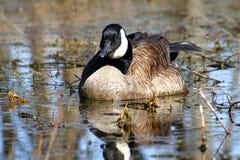 Canada Goose (Branta canadensis) Stock Photos