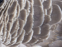 Canada goose, Branta canadensis royalty free stock photo