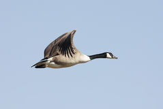 Canada Goose (Branta canadensis) In Flight Royalty Free Stock Images