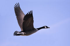 Canada Goose (Branta canadensis) In Flight. With a blue sky background royalty free stock photos