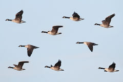 Canada Goose (Branta canadensis) In Flight. With a blue sky background stock images