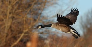 Canada goose Branta Canadensis in flight Royalty Free Stock Images