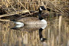Canada Goose (Branta canadensis). The Canada Goose (Branta canadensis) floating on a calm watersurface with old reed in background. Uppland, Sweden royalty free stock image