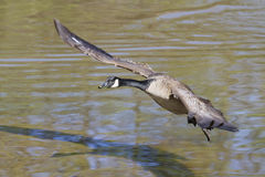 Canada goose (Branta canadensis) flying. Stock Photos