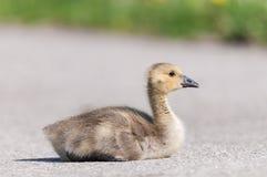 Canada Goose (branta canadensis) Gosling Royalty Free Stock Photography