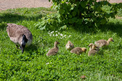 Canada Goose (branta canadensis) and goslings. On the banks of the River Thames royalty free stock images