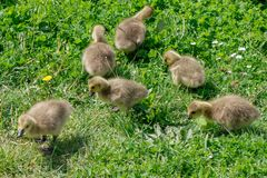 Canada Goose branta canadensis Goslings. On the banks of the river Thames stock image