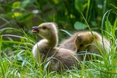 Canada goose (Branta canadensis) goslings Stock Image
