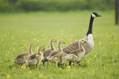 Canada Goose (Branta canadensis) with Goslings Royalty Free Stock Photo
