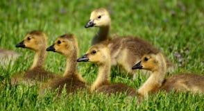 Canada Goose (Branta canadensis) Goslings Royalty Free Stock Images