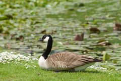 Canada goose, branta canadensis. In a green field in europe Royalty Free Stock Image