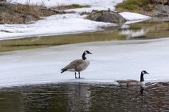 Canada goose Branta canadensis on ice, picture from Northern Sweden. Canada Goose Branta canadensis one on ice and one swiming stock image