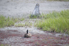 Canada Goose (Branta canadensis). And Juvenile fledging at Potter Marsh, Anchorage, Alaska. Alaska Department of Fish and Game Stock Photos