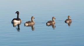 Canada Goose Branta canadensis Stock Photography
