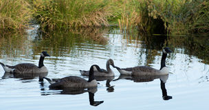 Canada Goose Branta canadensis Royalty Free Stock Photo