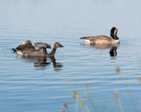 Canada Goose Branta canadensis Royalty Free Stock Photography