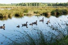 Canada Goose Branta canadensis Royalty Free Stock Images
