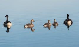 Canada Goose Branta canadensis Stock Images