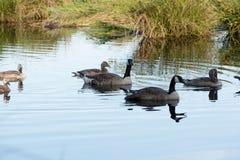 Canada Goose Branta canadensis Stock Photo
