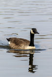 Canada Goose Royalty Free Stock Photography
