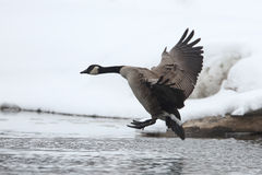 Canada Goose (Branta canadensis) Landing in Winter Stock Image