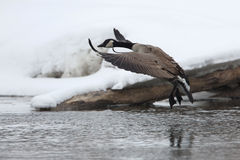 Canada Goose (Branta canadensis) Landing in Winter Stock Photography
