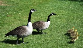 Canada goose. The Canada goose Branta canadensis is a large wild goose species with a black head and neck, white patches on the face, and a brown body. Native to Royalty Free Stock Image