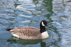 Canada Goose, Branta canadensis. A large wild goose species with a black head and neck, white patches on the face, and a brown body stock image