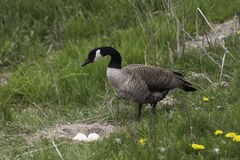 Canada Goose, Branta canadensis at the nest. A Canada Goose, Branta canadensis at the nest stock image